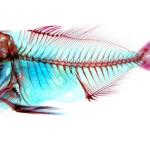 【未上場バイオベンチャー】美しい魚の標本! 株式会社 エーアンドゼット